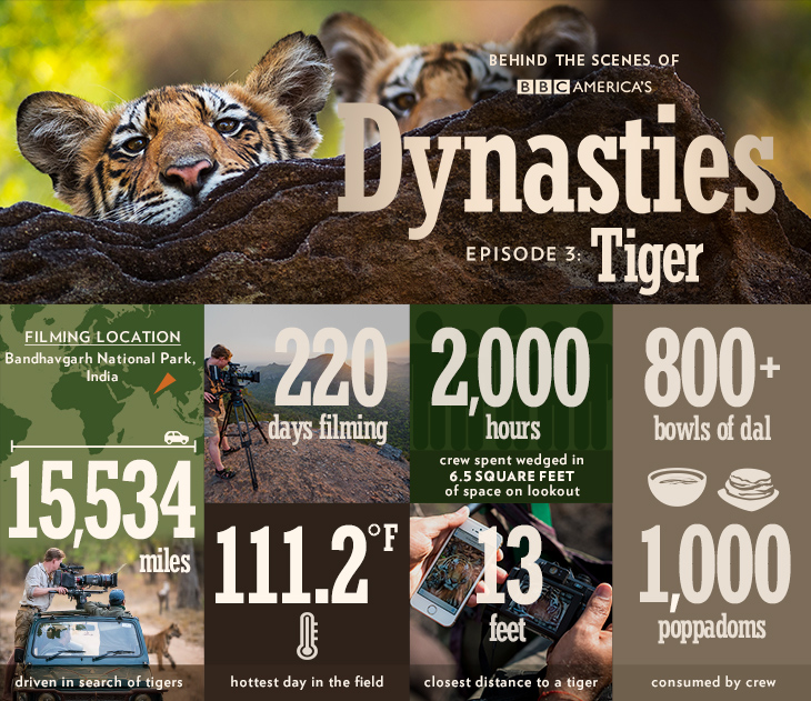 Dynasties_infographic_bts_tiger