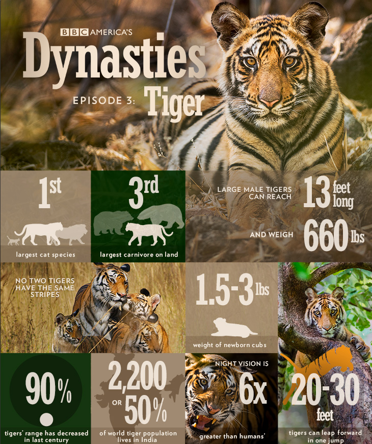 Dynasties_infographic_tiger
