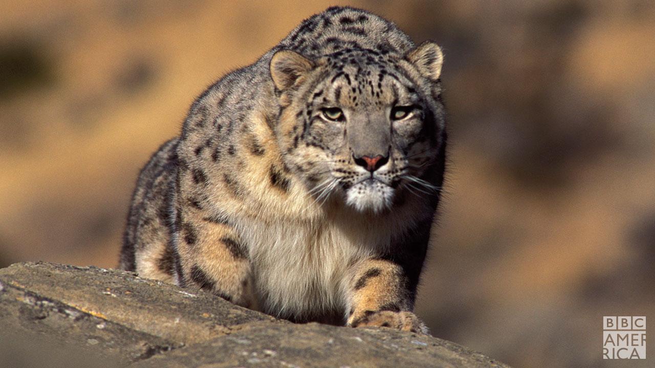 PE_102_snowleopard