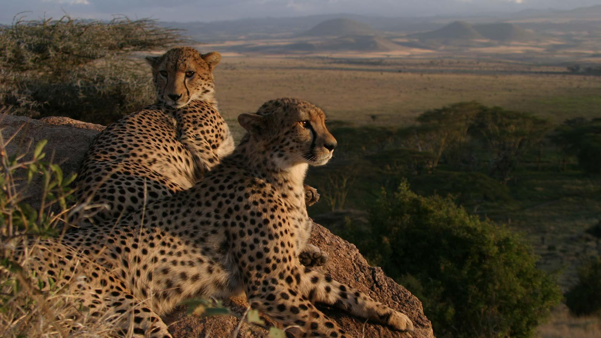 BBCA_EarthSpecials_Cheetahs