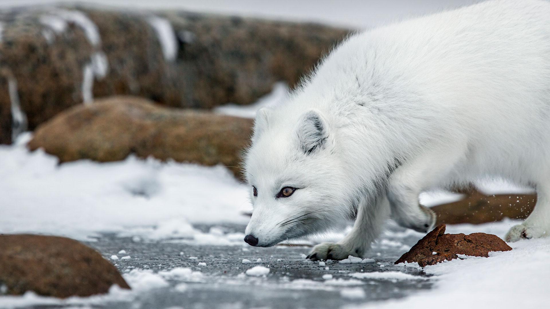 Arctic Animals Quiz Bbc America