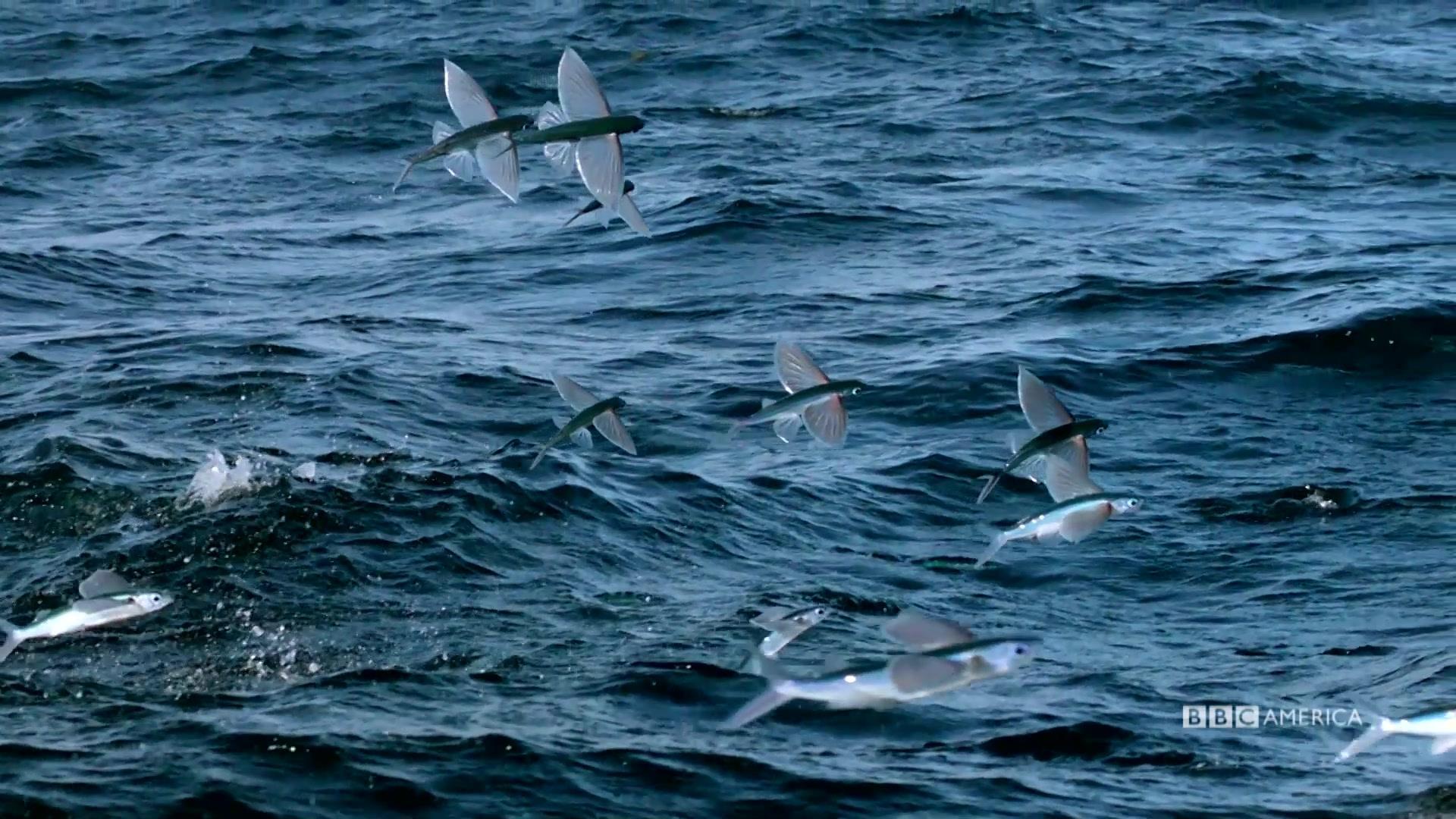 Sneak peek flying fish the hunt bbc america for Where do flying fish live