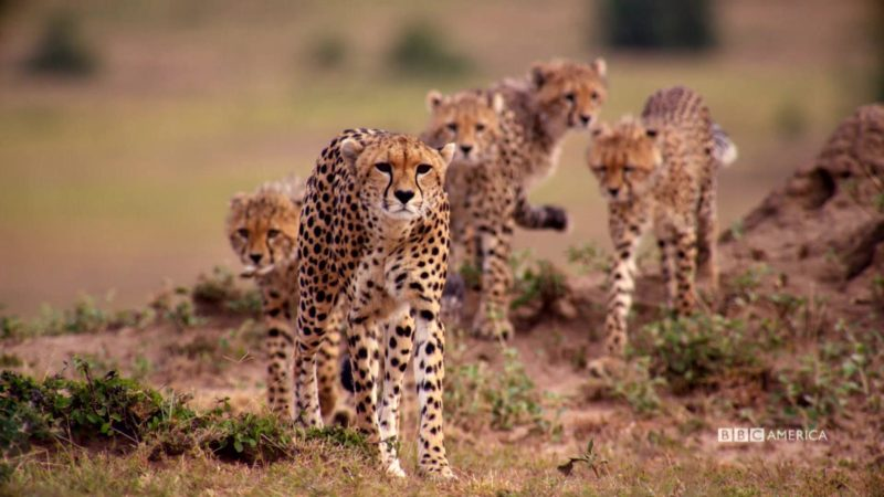 The_Hunt_Closer_Look_Ep5_Cheetah_YouTube_Preset_15000_Volume_Level_300_1920x1080_734765635535