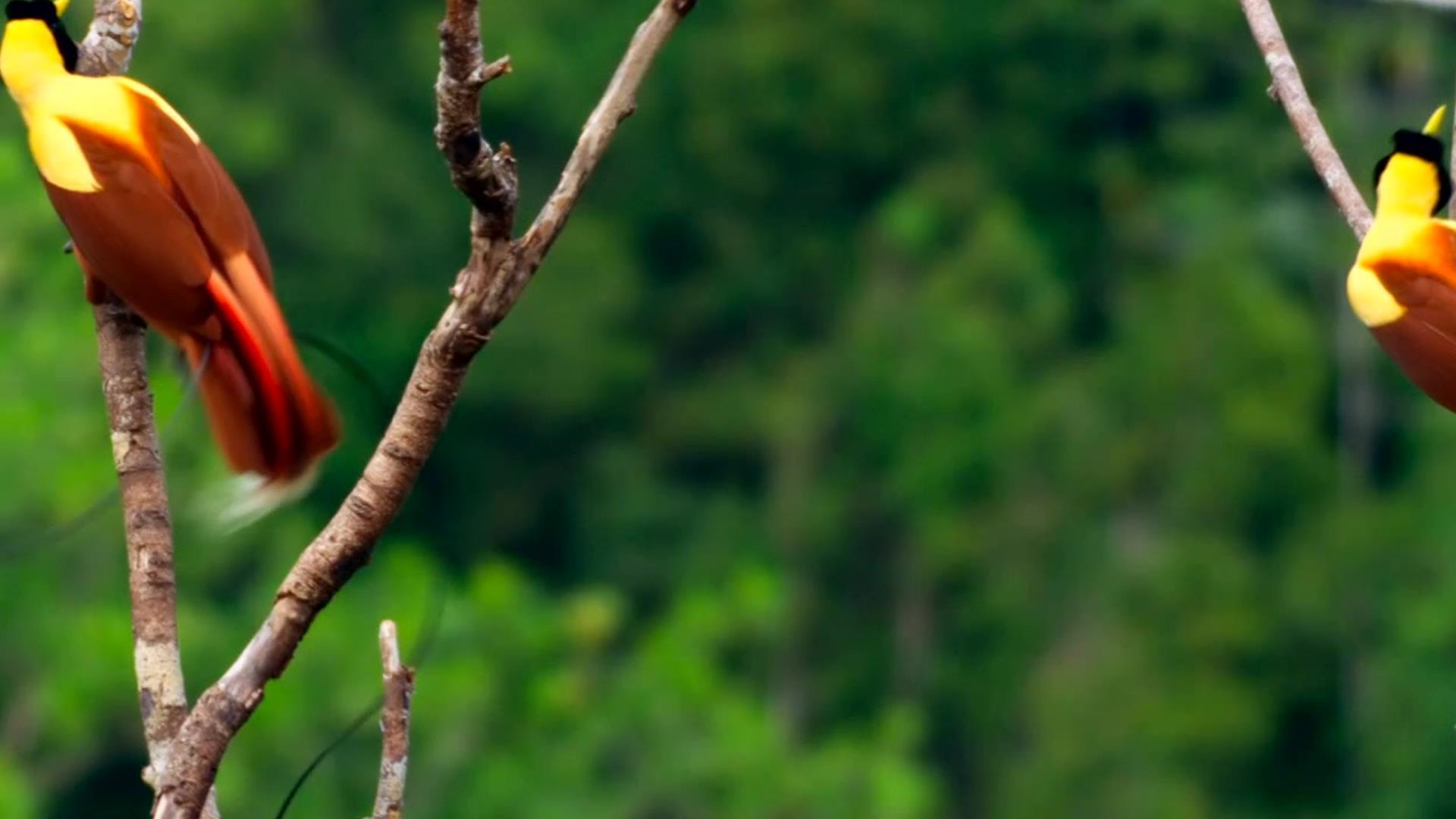 Birds of paradise planet earth ii bbc america - Plante jungle ...
