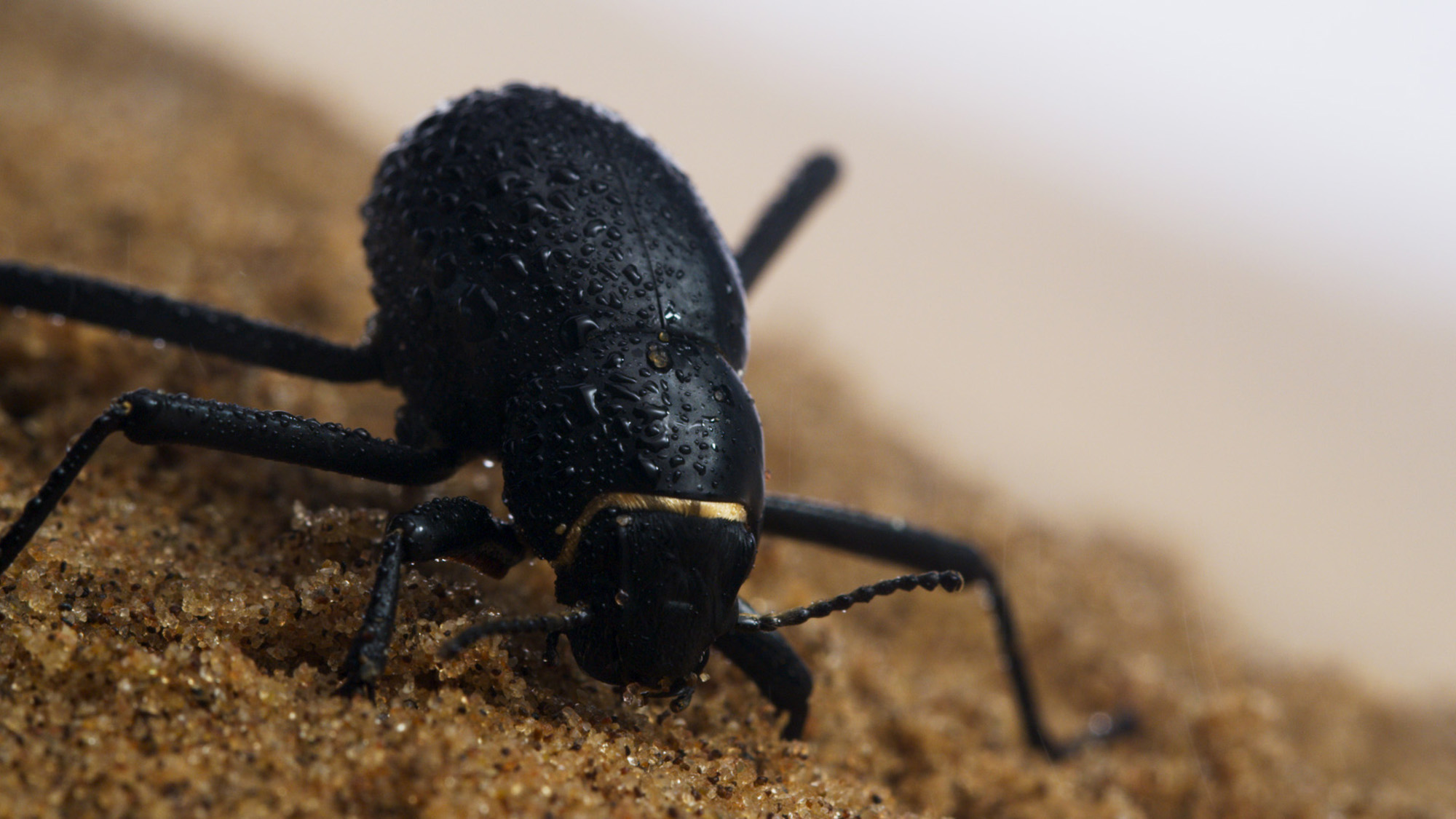 On foggy mornings, the darkling beetle of the Namib Desert climbs to the top of the dunes to collect water from the mist that blows in from the sea