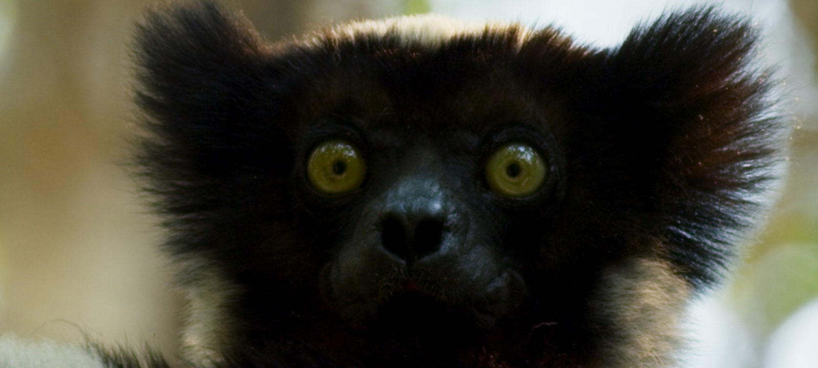 An Indri (a type of lemur) looks on at her forest in Madagascar.