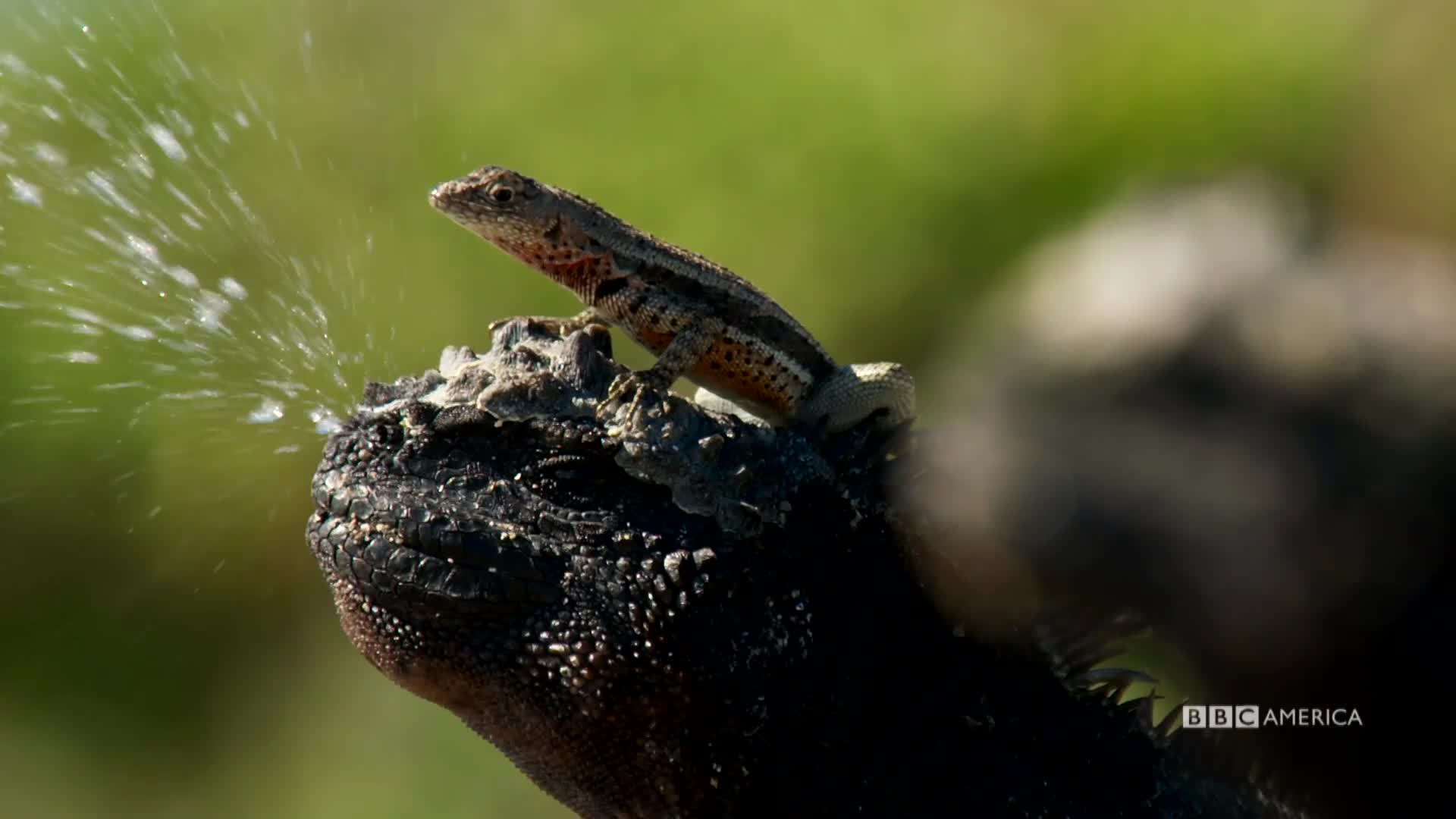 Marine Iguanas in the Galapagos | Planet Earth II | BBC ...