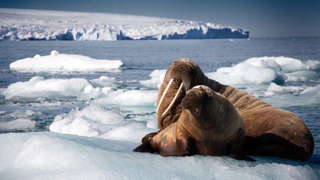 walrus-1920