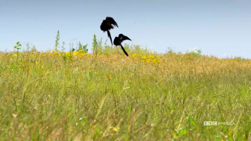 Planet_Earth_II_Ep_5_Grasslands_Widow_Birds_Social_YouTubePreset_1920x1080_903777859679