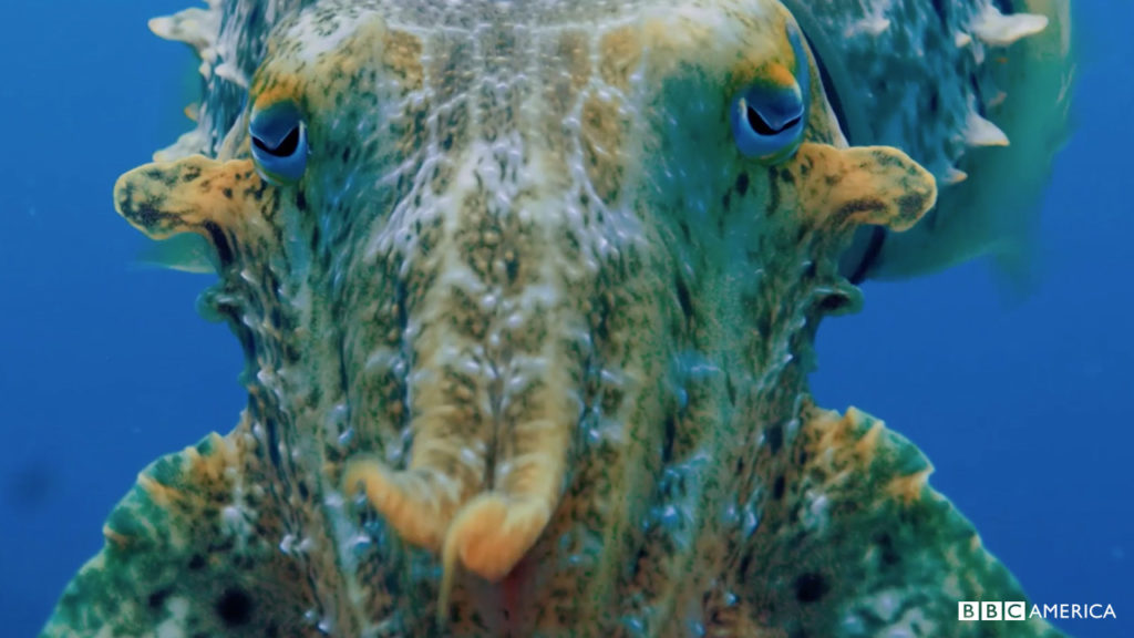 cuttlefish2