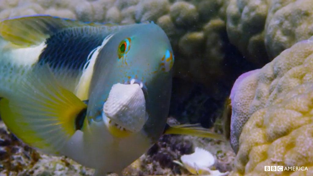 tuskfish