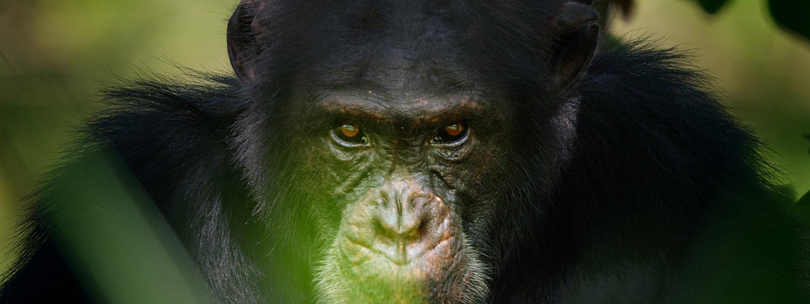 Chimpanzee_1920x1080
