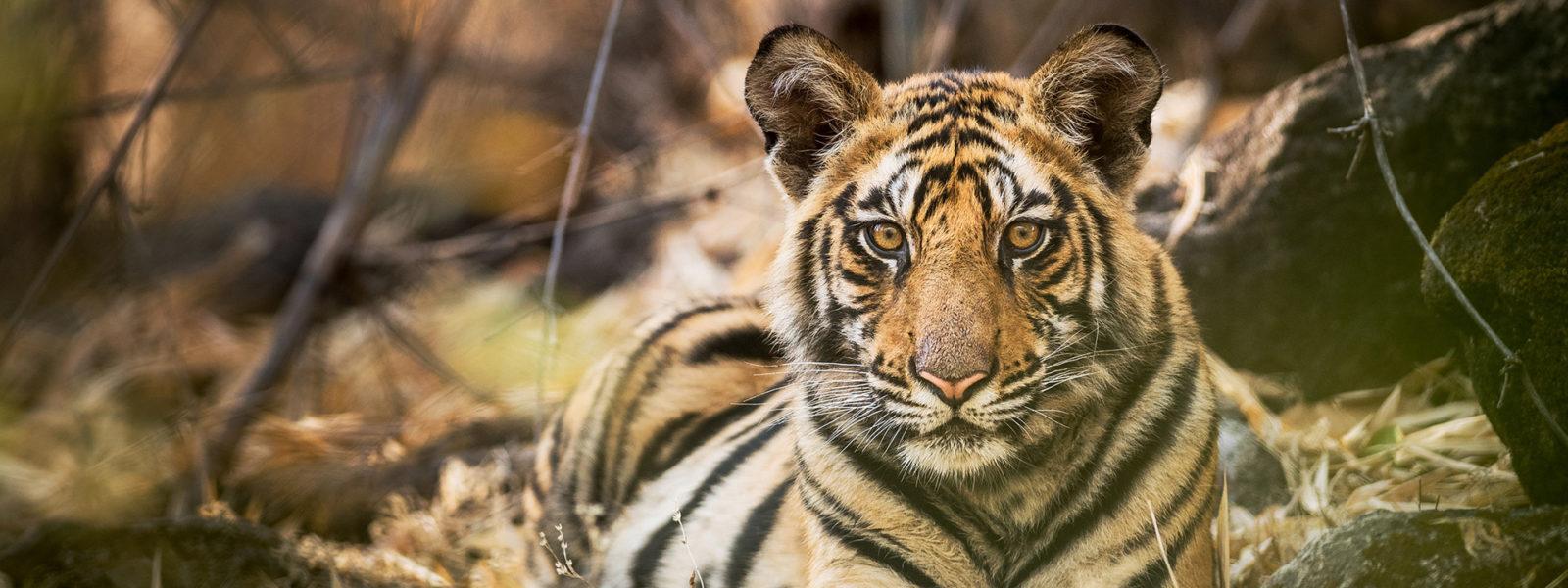 Tiger_1920x1080