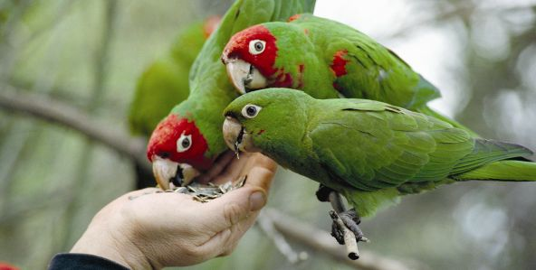 the-wild-parrots-of-telegraph-hill_592x299-7