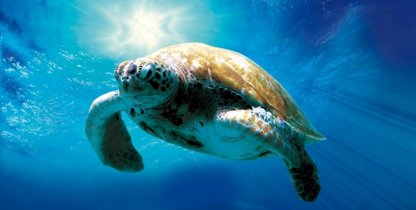 turtle-the-incredible-journey_592x299-7