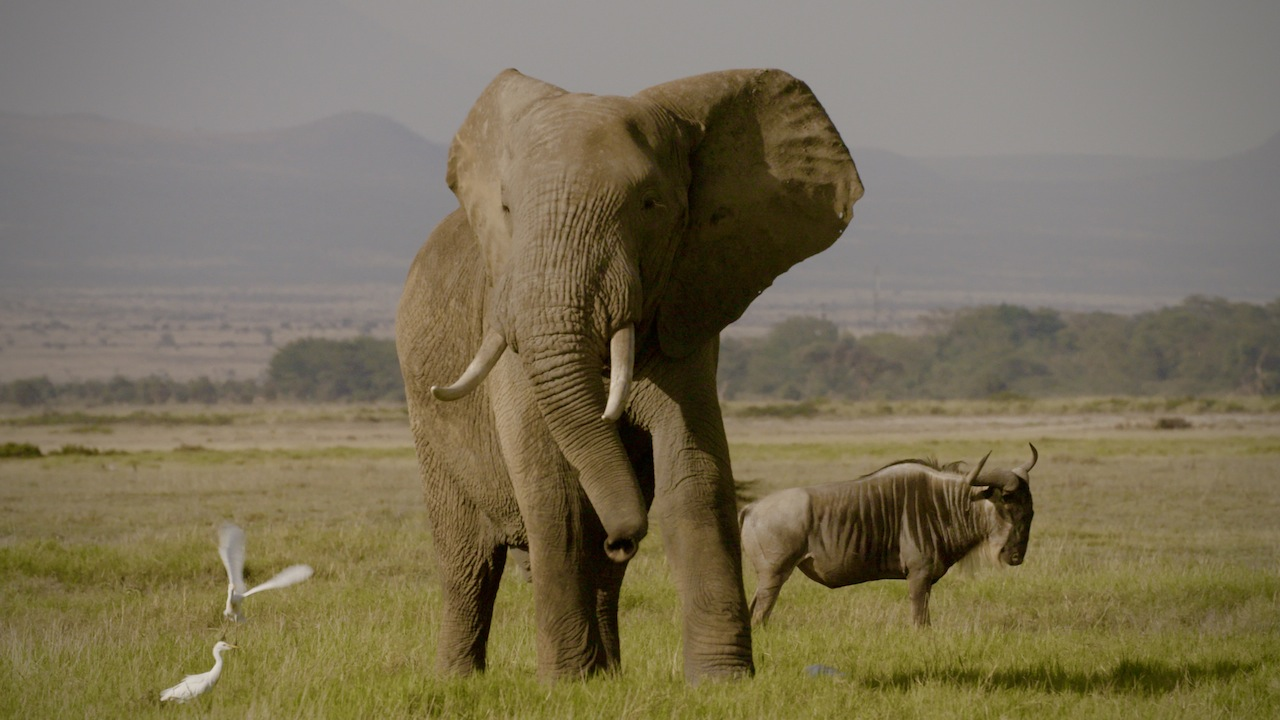 IVORY Kenya/Amboseli elephant with wilderbeast