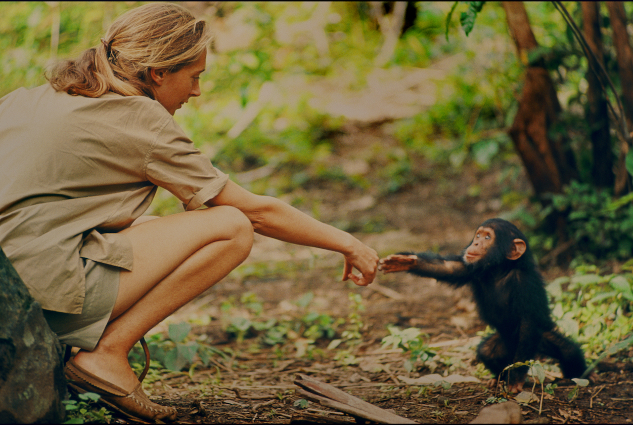 Gombe, Tanzania - Jane Goodall and infant chimpanzee Flint reach out to touch each other's hands. Flint was the first infant born at Gombe after Jane arrived. With him she had a great opportunity to study chimp developmentóand to have physical contact, which is no longer deemed appropriate with chimps in the wild. The feature documentary JANE will be released in select theaters October 2017. (National Geographic Creative/ Hugo van Lawick)