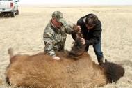 Ludo Bites a Buffalo