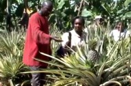 Organic farming in Uganda: can pineapples lead to prosperity?