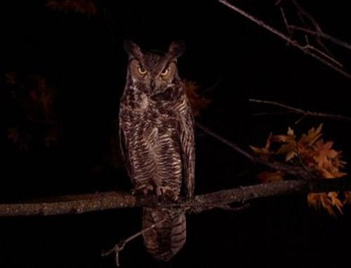10. Owls