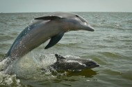 Gulf dolphins suffering from liver and lung disease — Hard partying lifestyle probably not to blame