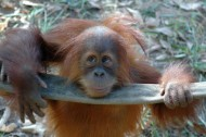 Green tech finds: the orangutan edition