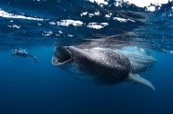 Caption this photo of a whale shark