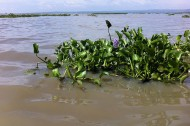 Invasive species as an economic resource: Lake Victoria's water hyacinths