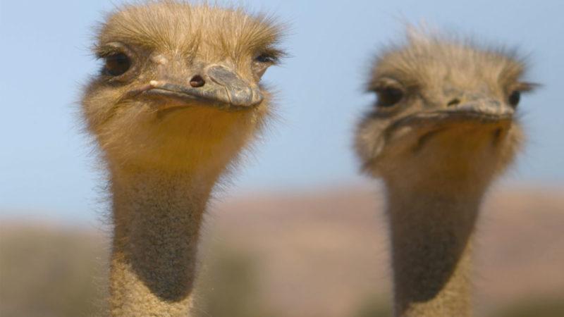 Eden: Untamed Planet Sneak Peek: Ostrich Mating Games