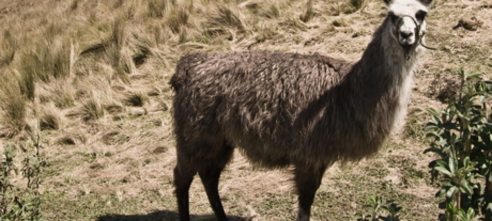 llama-featured2