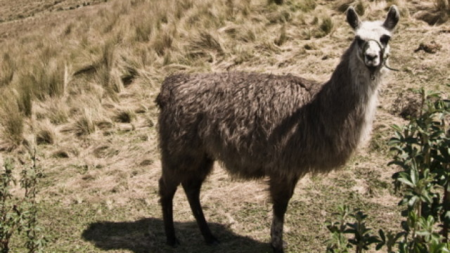 llama-featured2