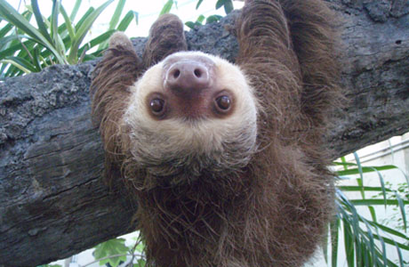 This sloth knows how to keep it real. (Wiki)