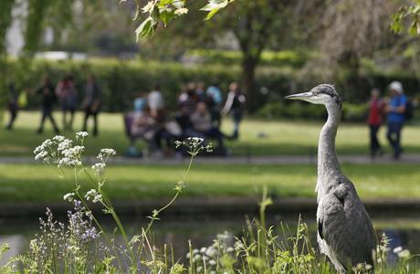 A wild heron, Regent's Park. (AP)
