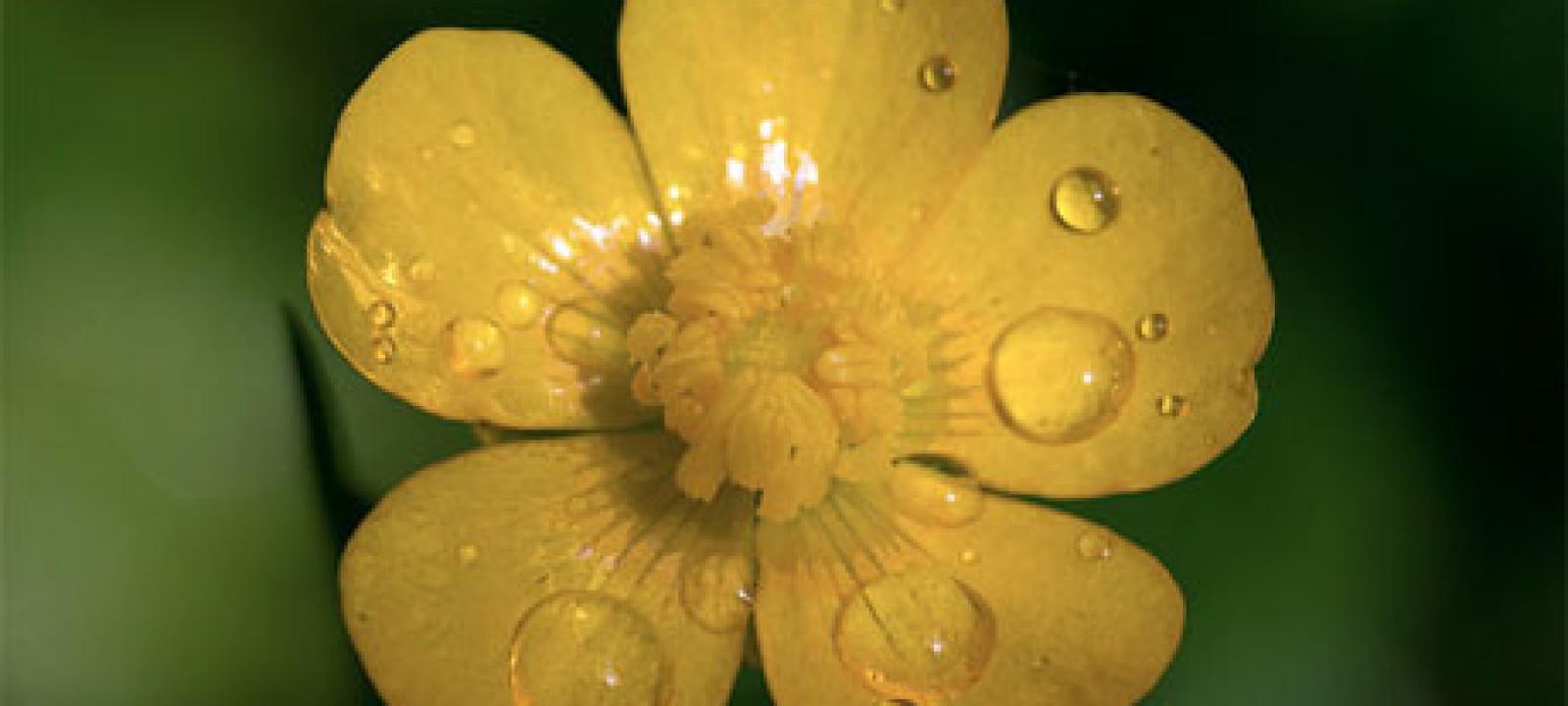 A buttercup