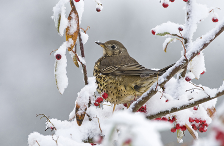 Mistle Thrush (Turdus viscivorus) adult, feeding on snow covered berries in garden, Norfolk, England, december (Photo by: Minden Pictures/AP Images)
