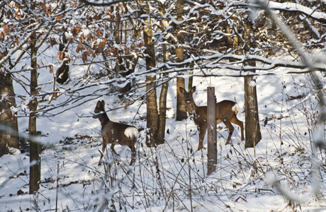 Western Roe Deer (Capreolus capreolus) two does, in snow covered conservation woodland, Chipping, Lancashire, England, december (Photo by: Minden Pictures/AP Images)
