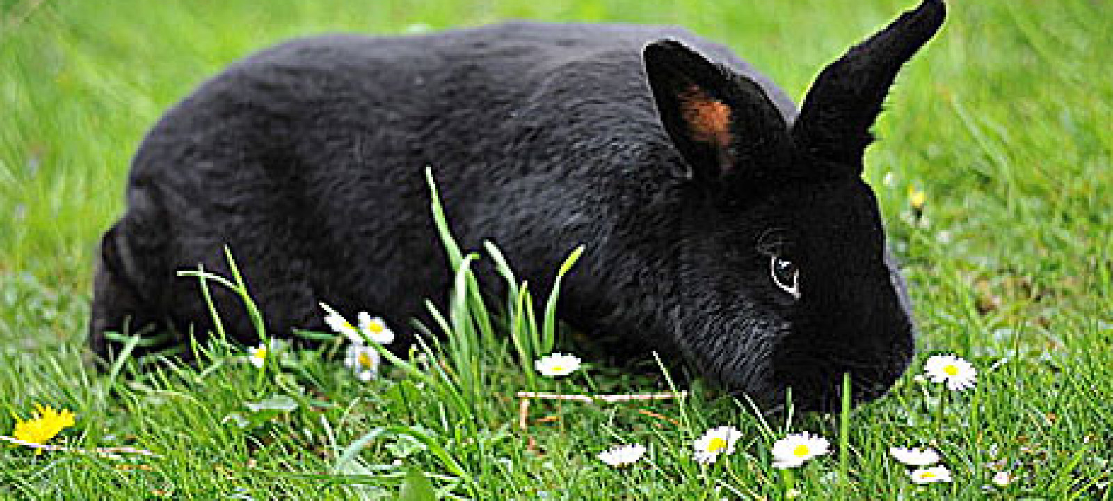 A black rabbit