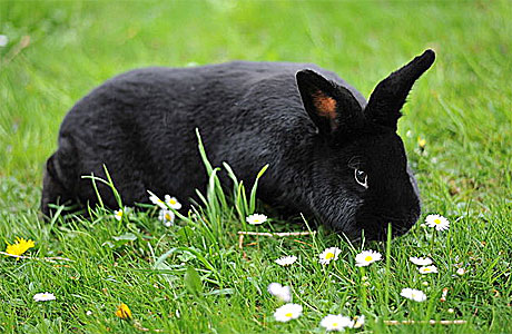 A black rabbit, yesterday.