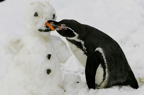 A Humboldt Penguin at Blair Drummond Safrai Park in Stirling Scotland pecks at the carrot nose of a snowman that the staff at the safari park built Tuesday Jan. 18, 2005. Snow swept through Scotland, Northern Ireland and northern England Tuesday with as much as 10 inches falling in central Scotland. (AP Photo/PA, Andrew Milligan) ** UNITED KINGDOM OUT MAGS OUT NO SALES **