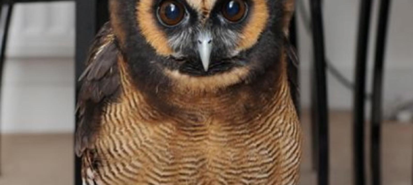 haru_owl