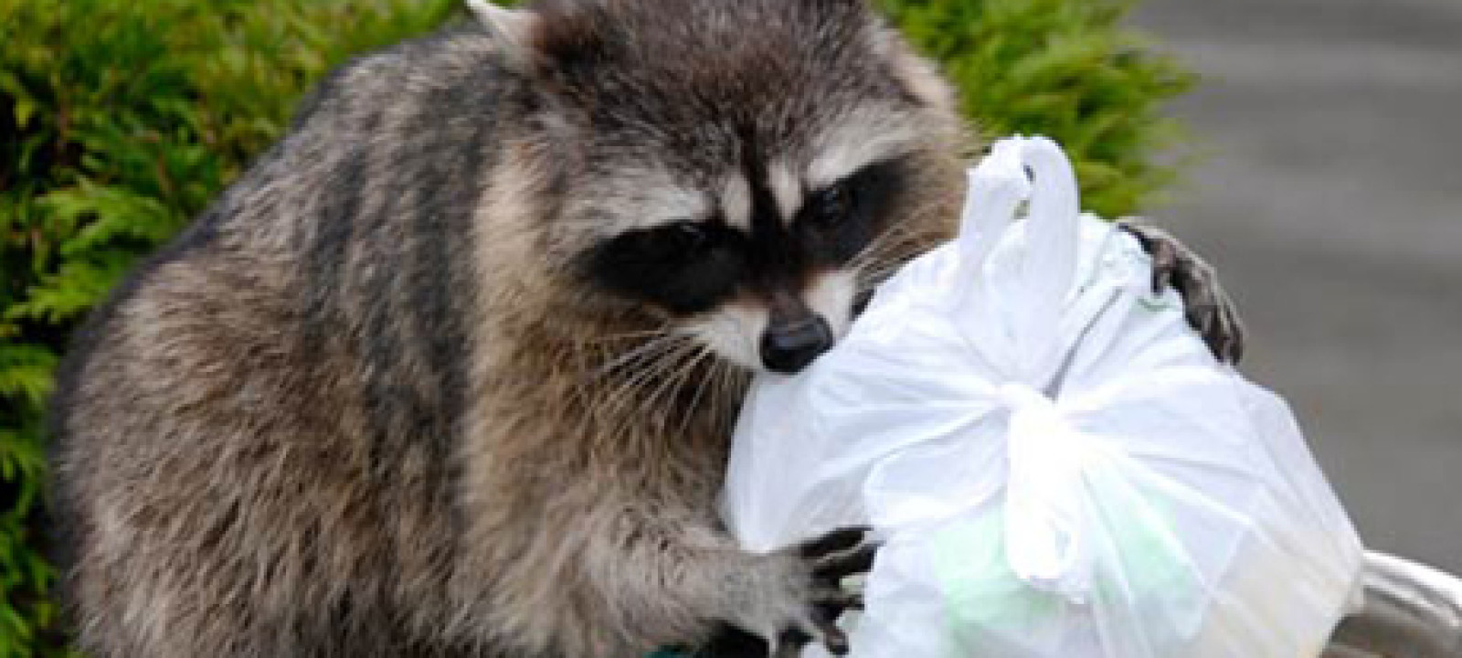 Raccoon, Garbage