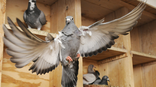 Homing Pigeons have been known to fly 700 miles in a day.  (AP Photo/Herald-Times Reporter, Jaslyn Gilbert)