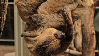 London zoo sloths