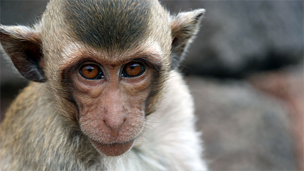 A Crab-Eating Macaque, unaffiliated to the French Navy (Pic: Wikipedia)