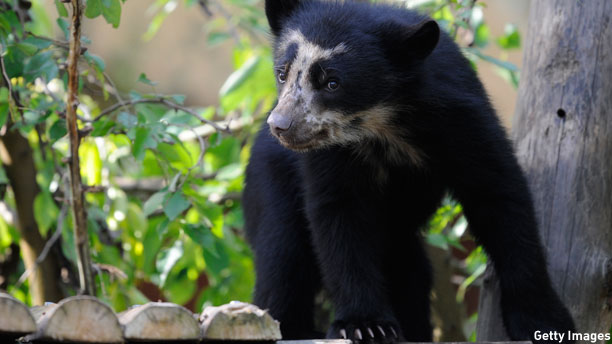 A spectacled bear, duffle coat not pictured. (Pic: John Thys/Getty Images)