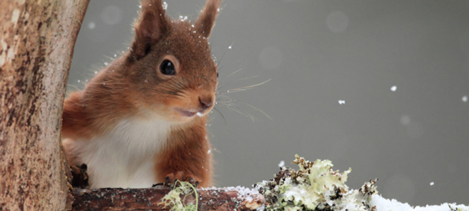 612x344_redsquirrel