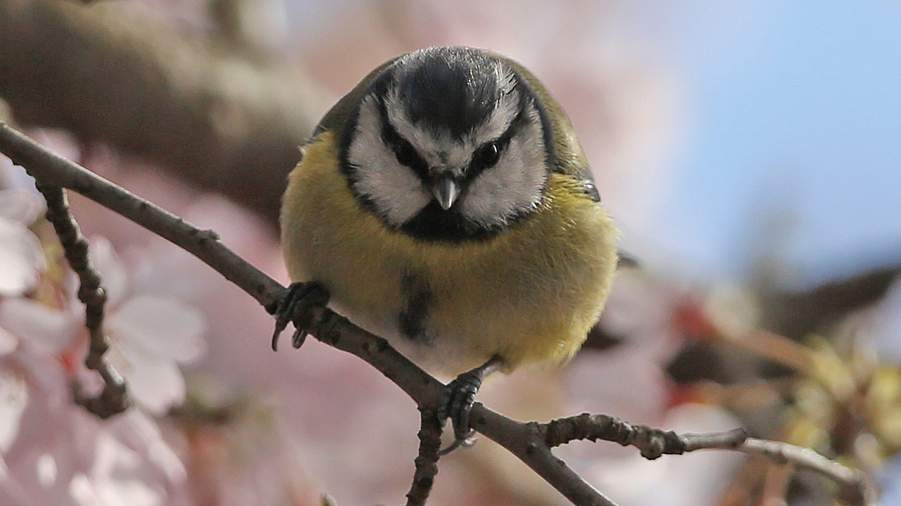A blue tit (Pic: Dan Kitwood/Getty Images)