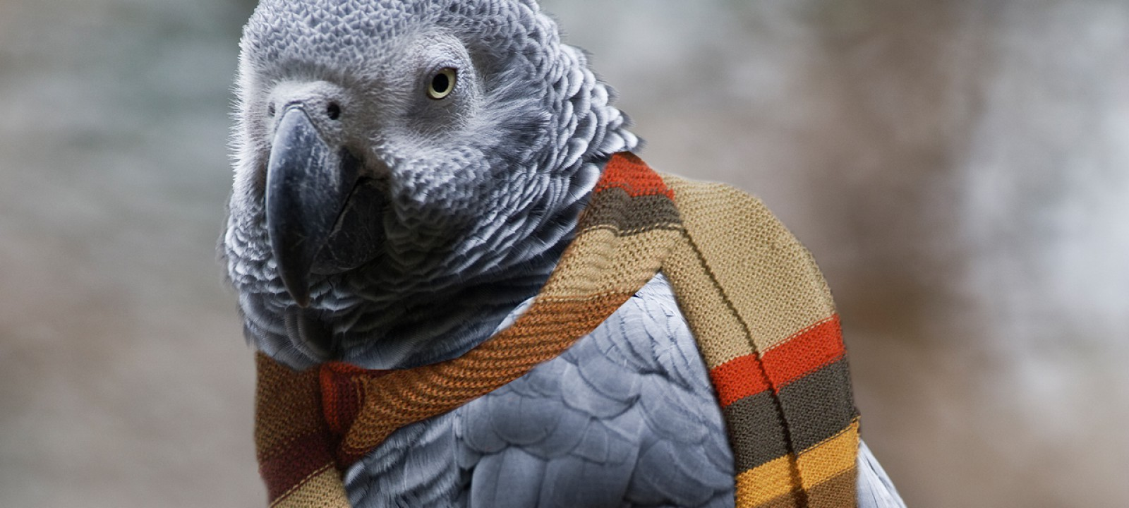 An African grey parrot in the Fourth Doctor's scarf (Pic: Ronaldo Schemidt/Getty Images)