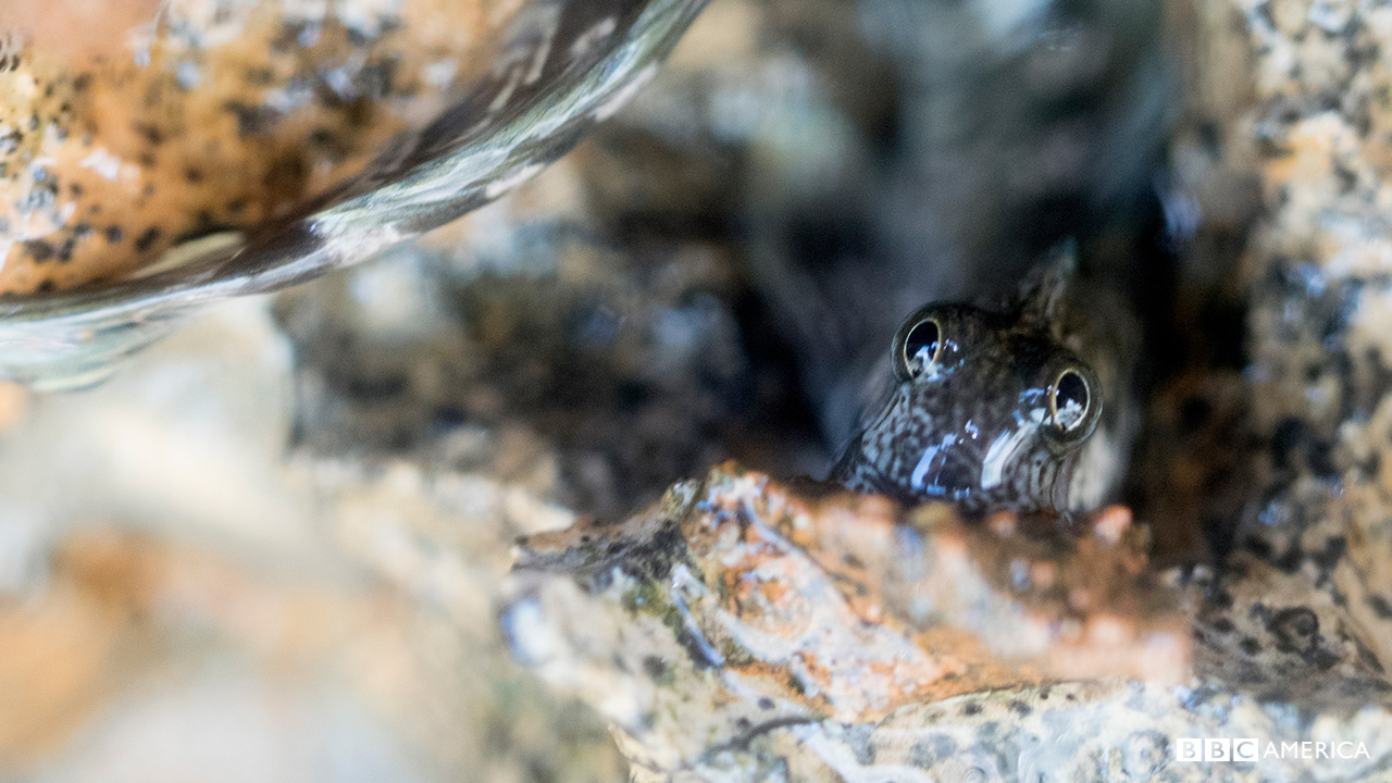 Blenny_anglo