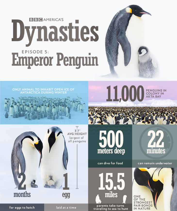 Dynasties_infographic_penguin